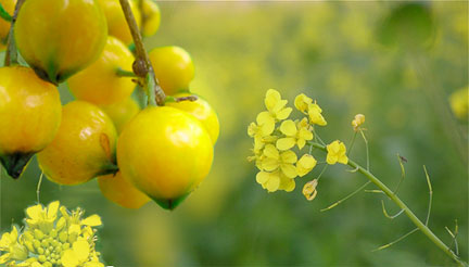 Yellow fruit and flowers