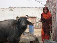 Water buffalo and woman