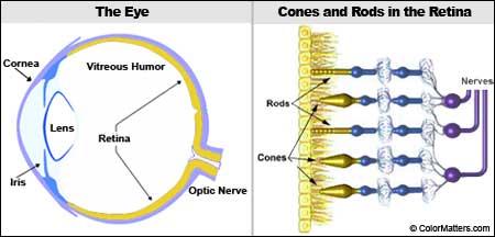 look inside the eye rh colormatters com